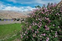 Pink roses at campsite near the Hemis Monastery, Ladakh, India Fine Art Print