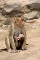 India, Mumbai, Elephanta Caves, monkeys by Cindy Miller Hopkins - various sizes