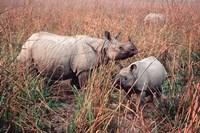 Indian Rhinoceros in Kaziranga National Park, India Fine Art Print