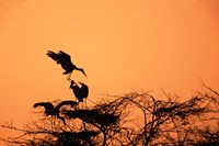 Painted Stork against a sunset sky, India Fine Art Print