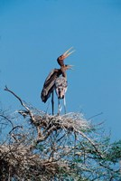 A pair of Painted Stork in a tree, India Fine Art Print