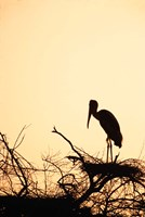 Painted Stork in Bandhavgarh National Park, India Fine Art Print
