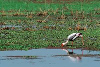 Painted Stork by the water, India Fine Art Print