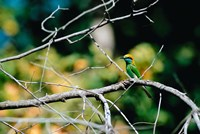 Green Bee-eater in Bandhavgarh National Park, India by Dee Ann Pederson - various sizes