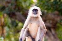 Monkey, Ranthambore National Park, Rajastan, India by Bill Bachmann - various sizes