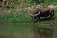 Water Buffalo in Kaziranga National Park, India Fine Art Print