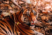 Bengal Tiger in Bandhavgarh National Park, India by Dee Ann Pederson - various sizes - $46.49