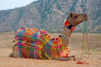 Brightly decorated camel, Pushkar, Rajasthan, India. Fine Art Print