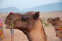 Close-up of a camel, Pushkar, Rajasthan, India. Fine Art Print