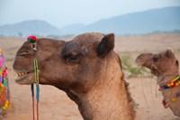 Close-up of a camel, Pushkar, Rajasthan, India. Fine Art Print