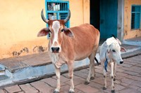 Cow and calf on the street, Jojawar, Rajasthan, India. Fine Art Print