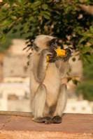 Langur Monkey holding a banana, Amber Fort, Jaipur, Rajasthan, India by Inger Hogstrom - various sizes