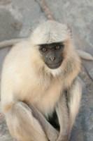 Langur Monkey, Amber Fort, Jaipur, Rajasthan, India by Inger Hogstrom - various sizes
