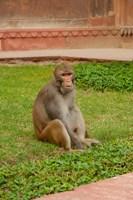 Monkey, Uttar Pradesh, India by Inger Hogstrom - various sizes