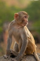 Young Rhesus monkey, Monkey Temple, Jaipur, Rajasthan, India by Inger Hogstrom - various sizes