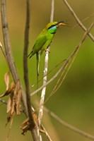 Green Bee-Eater, Madhya Pradesh, Kanha National Park, India by Joe & Mary Ann McDonald - various sizes