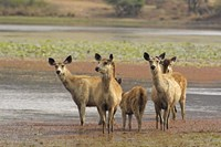 Alert Sanbar deers, Ranthambhor National Park, India Fine Art Print