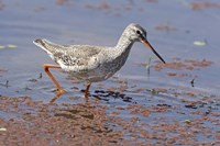 Bird, Redshank, Ranthambhor National Park, India Fine Art Print
