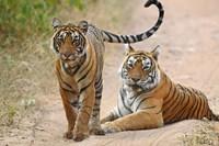 Pair of Royal Bengal Tigers, Ranthambhor National Park, India Fine Art Print