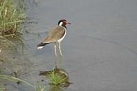 Redwattled Lapwing bird, Corbett NP, India. by Jagdeep Rajput - various sizes, FulcrumGallery.com brand