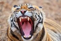 Royal Bengal Tiger mouth, Ranthambhor National Park, India by Jagdeep Rajput - various sizes
