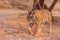 Royal Bengal Tiger, India by Jagdeep Rajput - various sizes