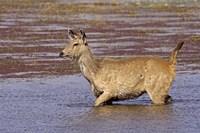 Sambar wildlife, lake, Ranthambhor NP, India by Jagdeep Rajput - various sizes