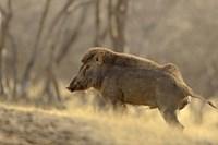 Wild Boar, Ranthambhor National Park, India by Jagdeep Rajput - various sizes