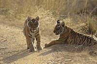 Young Royal Bengal Tiger, Ranthambhor National Park, India by Jagdeep Rajput - various sizes