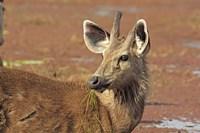 Young Sambar stag, Ranthambhor National Park, India by Jagdeep Rajput - various sizes
