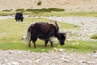 India, Jammu and Kashmir, Ladakh, yaks eating grass on a dry creek bed Fine Art Print