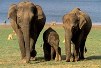 Asian Elephant Family, Nagarhole National Park, India by Gavriel Jecan - various sizes
