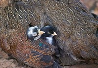 Mother hen guarding two little chicks, Orissa, India by Keren Su - various sizes
