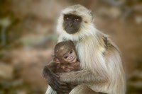 Black-Face Langur Mother and Baby, Ranthambore National Park, Rajasthan, India by Keren Su - various sizes