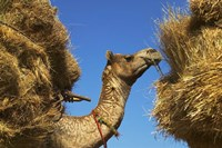 Camel Carrying Straw, Pushkar, Rajasthan, India by Keren Su - various sizes