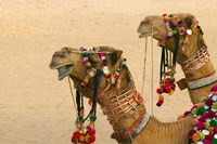 Decorated Camel in the Thar Desert, Jaisalmer, Rajasthan, India Fine Art Print