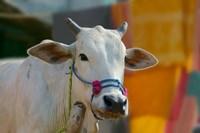 White cows, Farm Animal, Kansamari area, Orissa, India by Keren Su - various sizes
