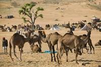 Camel Market, Pushkar Camel Fair, India by Walter Bibikow - various sizes