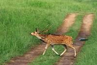 Chital Stag, Corbett National Park, India by Jagdeep Rajput - various sizes