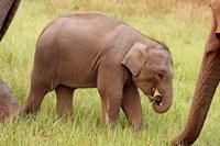 Indian Elephant calf,Corbett National Park, India by Jagdeep Rajput - various sizes