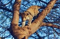 Leopard wildlife, Ranthambhor National Park, India by Jagdeep Rajput - various sizes