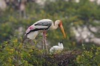 Painted Stork birds, Keoladeo National Park, India Fine Art Print