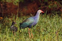 Purple Moorhen and young birds, Keoladeo NP, India by Jagdeep Rajput - various sizes, FulcrumGallery.com brand