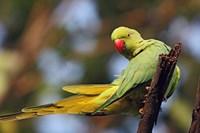 Roseringed Parakeet tropical bird, Keoladeo NP, India by Jagdeep Rajput - various sizes - $32.99
