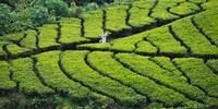 Tea Plantation, Kerala, India by Keren Su - various sizes