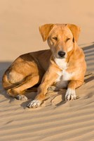Dog Lying in Sand Dunes, Thar Desert, Jaisalmer, Rajasthan, India Fine Art Print
