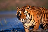 Bengal Tiger, India Fine Art Print