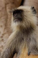 Hanuman Langur primate, Ranthambhore NP, Rajasthan INDIA by Pete Oxford - various sizes