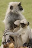 Hanuman Langurs monkeys, Jodhpur, Rajasthan by Pete Oxford - various sizes