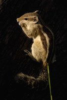 Northern Palm Squirrel, Bharatpur NP, Rajasthan. INDIA by Pete Oxford - various sizes